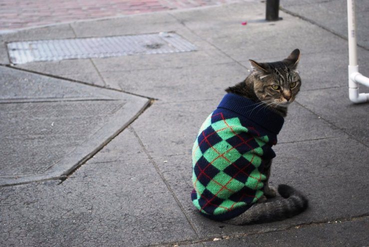 cat-in-sweater-shnurki